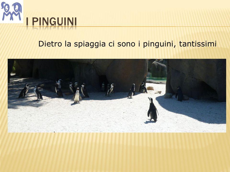 Dietro la spiaggia ci sono i pinguini, tantissimi