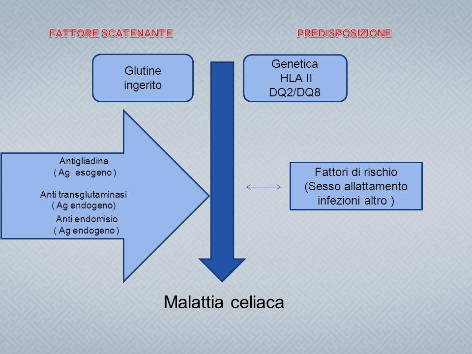Malattia celiaca Glutine ingerito Genetica HLA II DQ2/DQ8 Antigliadina ( Ag esogeno ) Anti transglutaminasi ( Ag endogeno) Anti endomisio ( Ag endogen