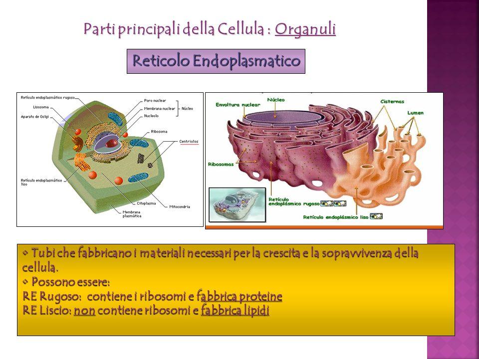 Parti principali della Cellula : Organuli Reticolo Endoplasmatico Tubi che fabbricano i materiali necessari per la crescita e la sopravvivenza della c