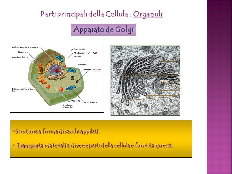 Parti principali della Cellula : Organuli Apparato de Golgi Struttura a forma di sacchi appilati.Struttura a forma di sacchi appilati. Transporta mate