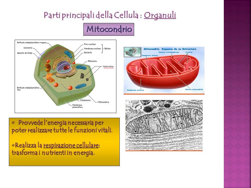 Parti principali della Cellula : Organuli Mitocondrio Provvede lenergia necessaria per poter realizzare tutte le funzioni vitali. Provvede lenergia ne