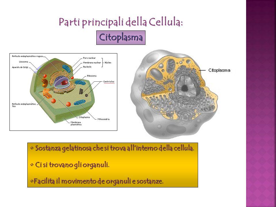 Parti principali della Cellula: Citoplasma Sostanza gelatinosa che si trova allinterno della cellula. Sostanza gelatinosa che si trova allinterno dell