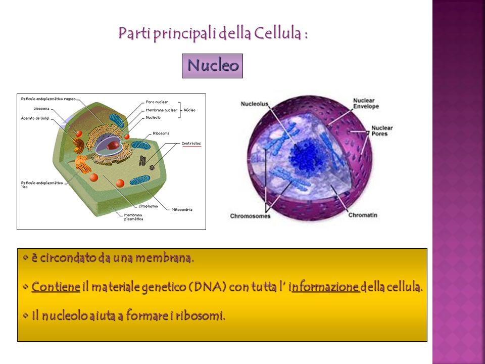 è circondato da una membrana. è circondato da una membrana. Contiene il materiale genetico (DNA) con tutta l informazione della cellula. Contiene il m