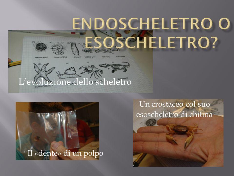 Levoluzione dello scheletro Il «dente» di un polpo Un crostaceo col suo esoscheletro di chitina
