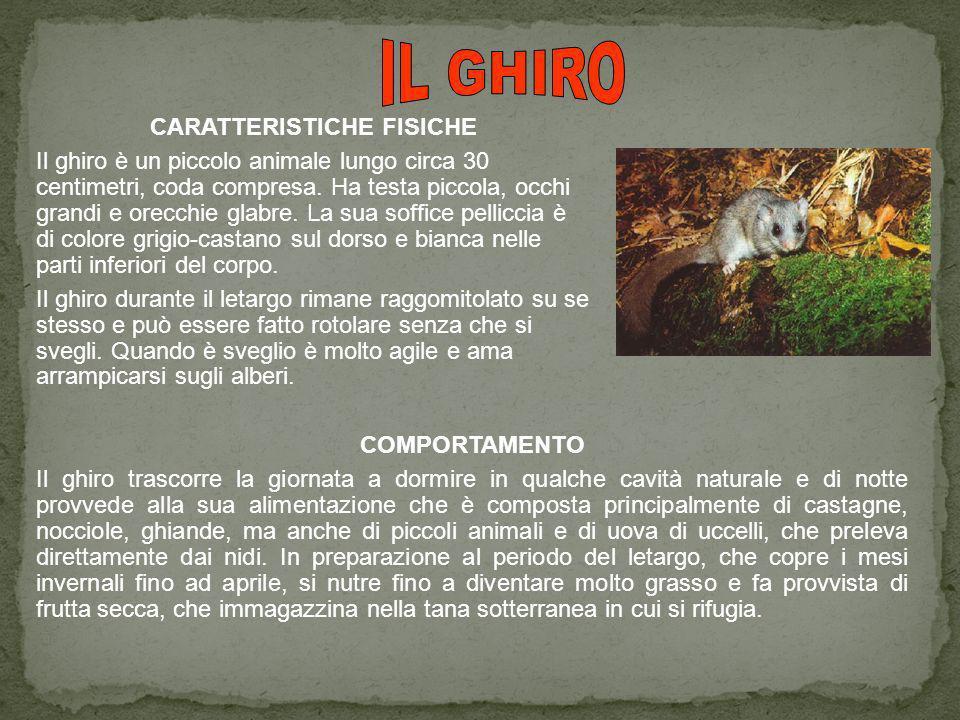CARATTERISTICHE FISICHE Il ghiro è un piccolo animale lungo circa 30 centimetri, coda compresa.