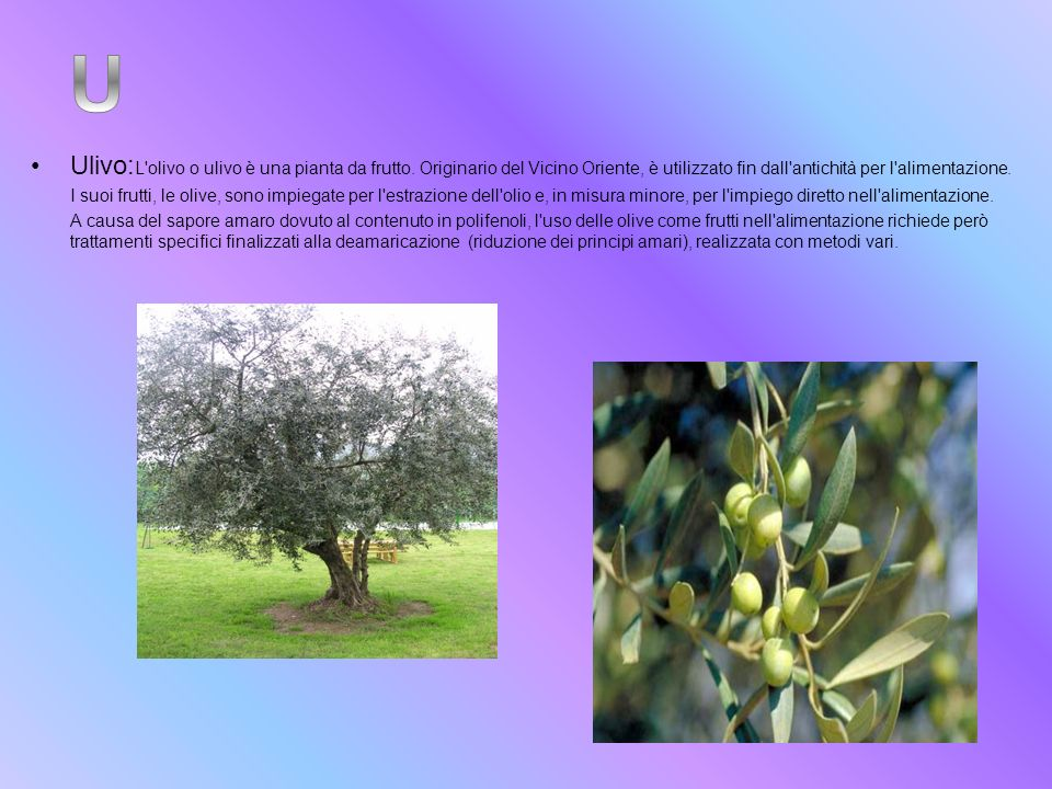 Ulivo: L'olivo o ulivo è una pianta da frutto. Originario del Vicino Oriente, è utilizzato fin dall'antichità per l'alimentazione. I suoi frutti, le o