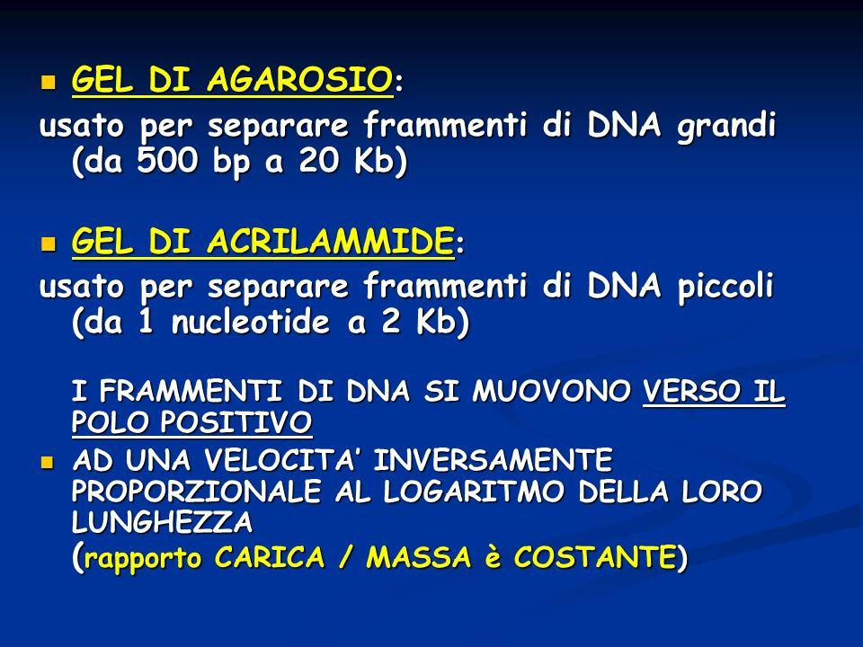 GEL DI AGAROSIO : GEL DI AGAROSIO : usato per separare frammenti di DNA grandi (da 500 bp a 20 Kb) GEL DI ACRILAMMIDE : GEL DI ACRILAMMIDE : usato per