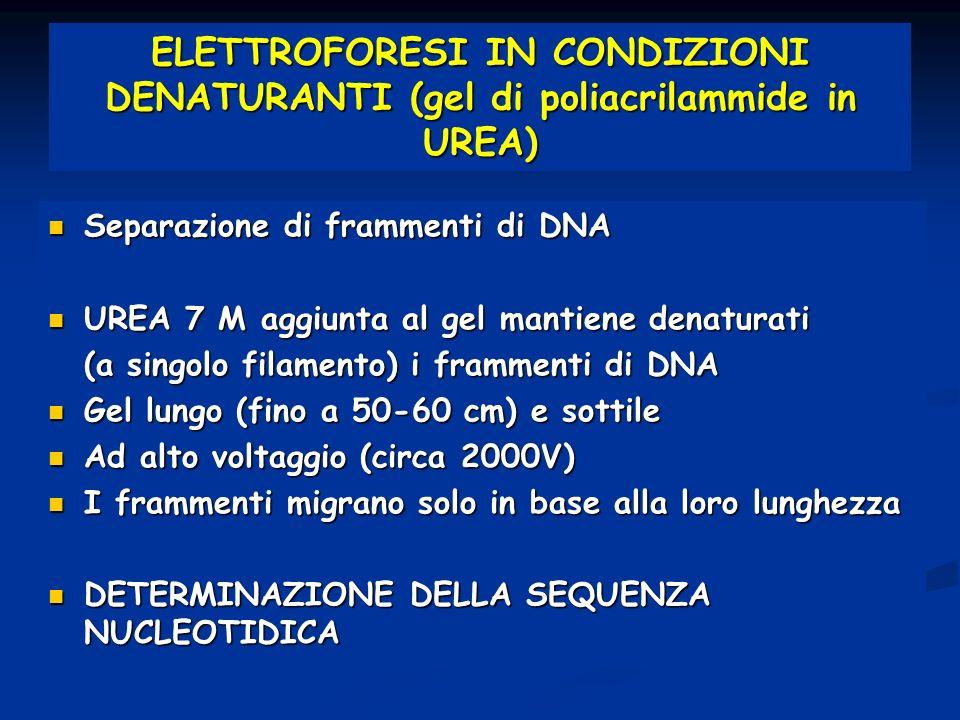 ELETTROFORESI IN CONDIZIONI DENATURANTI (gel di poliacrilammide in UREA) Separazione di frammenti di DNA Separazione di frammenti di DNA UREA 7 M aggi