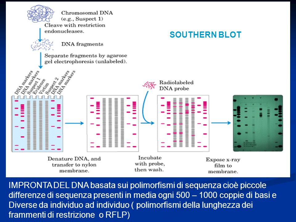 SOUTHERN BLOT IMPRONTA DEL DNA basata sui polimorfismi di sequenza cioè piccole differenze di sequenza presenti in media ogni 500 – 1000 coppie di bas