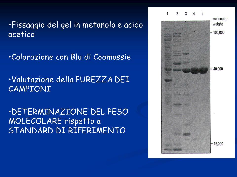 Fissaggio del gel in metanolo e acido acetico Colorazione con Blu di Coomassie Valutazione della PUREZZA DEI CAMPIONI DETERMINAZIONE DEL PESO MOLECOLA