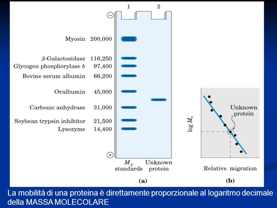 La mobilità di una proteina è direttamente proporzionale al logaritmo decimale della MASSA MOLECOLARE