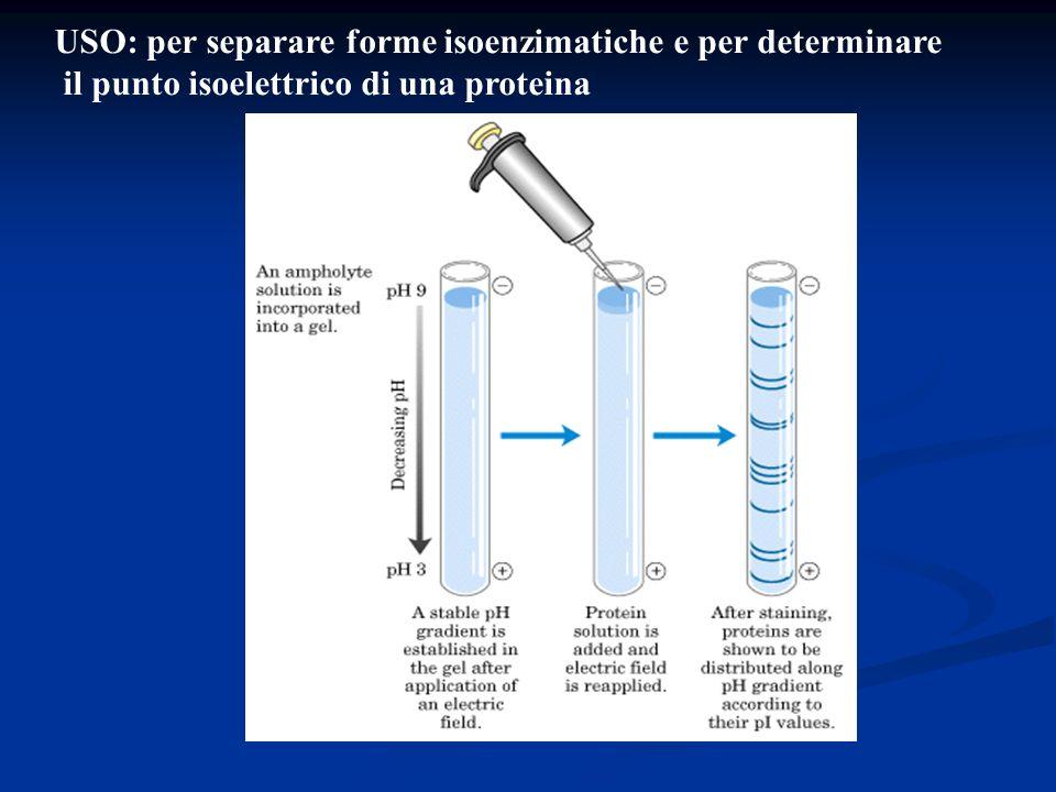 USO: per separare forme isoenzimatiche e per determinare il punto isoelettrico di una proteina