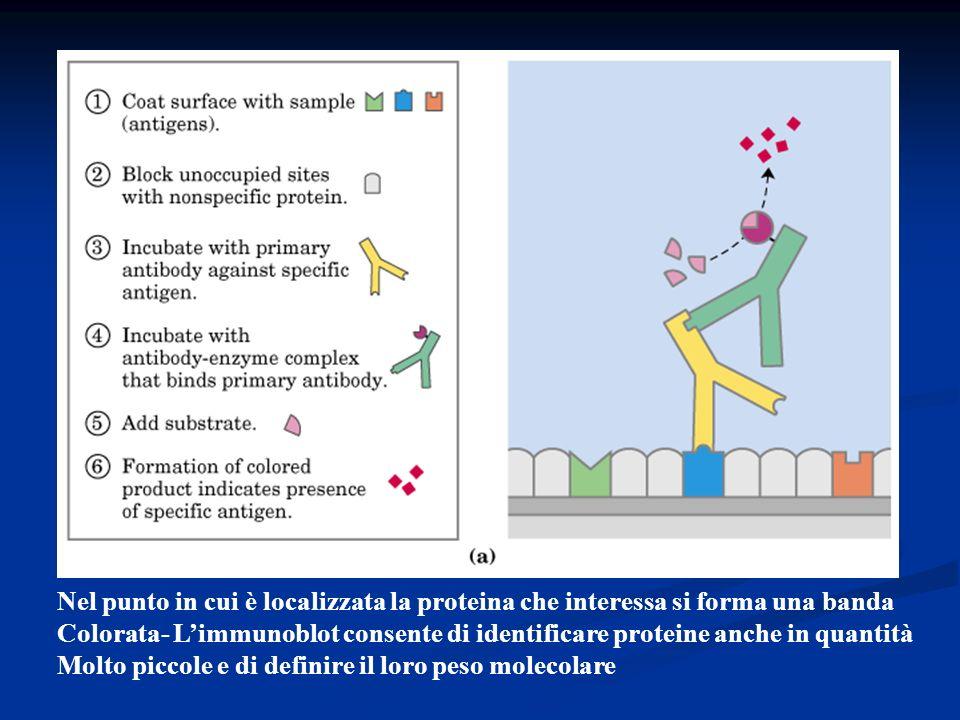 Nel punto in cui è localizzata la proteina che interessa si forma una banda Colorata- Limmunoblot consente di identificare proteine anche in quantità
