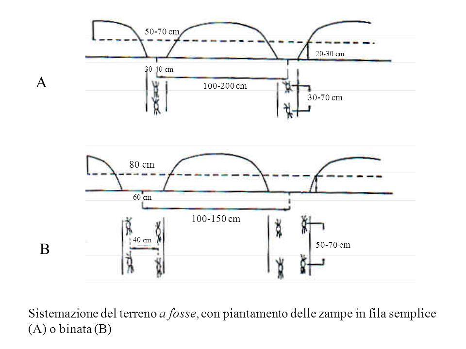 A B Sistemazione del terreno a fosse, con piantamento delle zampe in fila semplice (A) o binata (B) 50-70 cm 30-40 cm 100-200 cm 20-30 cm 30-70 cm 80