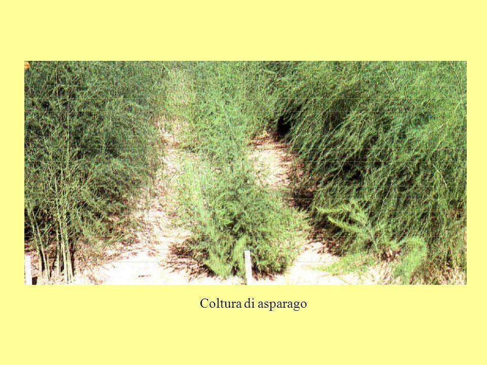 1 2 3 4 5 1: piantina ad un mese dalla semina 2: estremità di un rizoma in primavera 3: rizoma parzialmente sezionato 4: turioni alla raccolta 5: rametto con bacche
