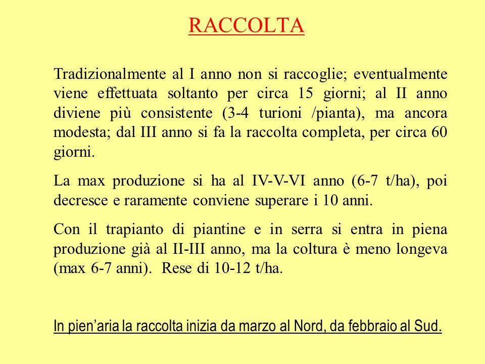 RACCOLTA Tradizionalmente al I anno non si raccoglie; eventualmente viene effettuata soltanto per circa 15 giorni; al II anno diviene più consistente