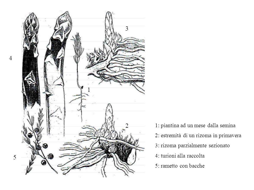 1 2 3 4 5 1: piantina ad un mese dalla semina 2: estremità di un rizoma in primavera 3: rizoma parzialmente sezionato 4: turioni alla raccolta 5: rame