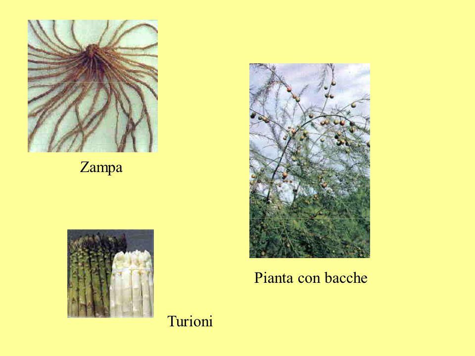 PRODUZIONE DELLE ZAMPE Semina in semenzaio in primavera o ad inizio estate, a file distanti 20-30 cm e 6-8 cm sulla fila Zampe pronte da trapiantare dopo 12-18-20-24 mesi Resa di 40 zampe/m 2 Le zampe, asciugate e disinfettate, possono essere conservate in locali freschi e ventilati o a 0°C e 85-95% di umidità.
