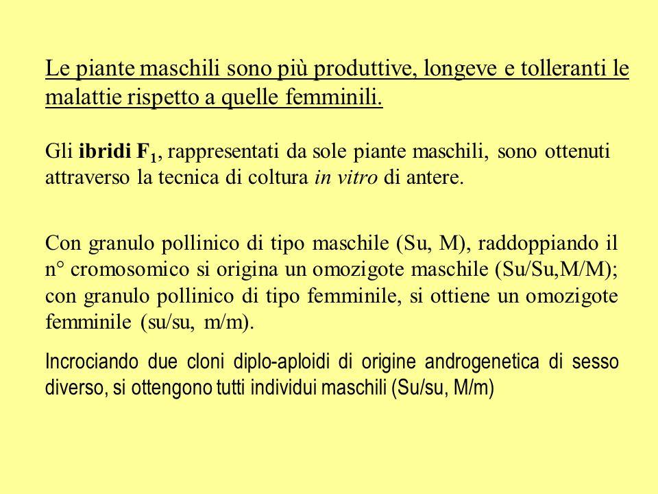 COMPOSIZIONE DEL TURIONE Acqua94 %Calcio (mg/100g) 20 Proteine1.7 %P (mg/100g) 60 Grassi0.15 %Fe (mg/100g) 1 Zuccheri0.37 % Vit.
