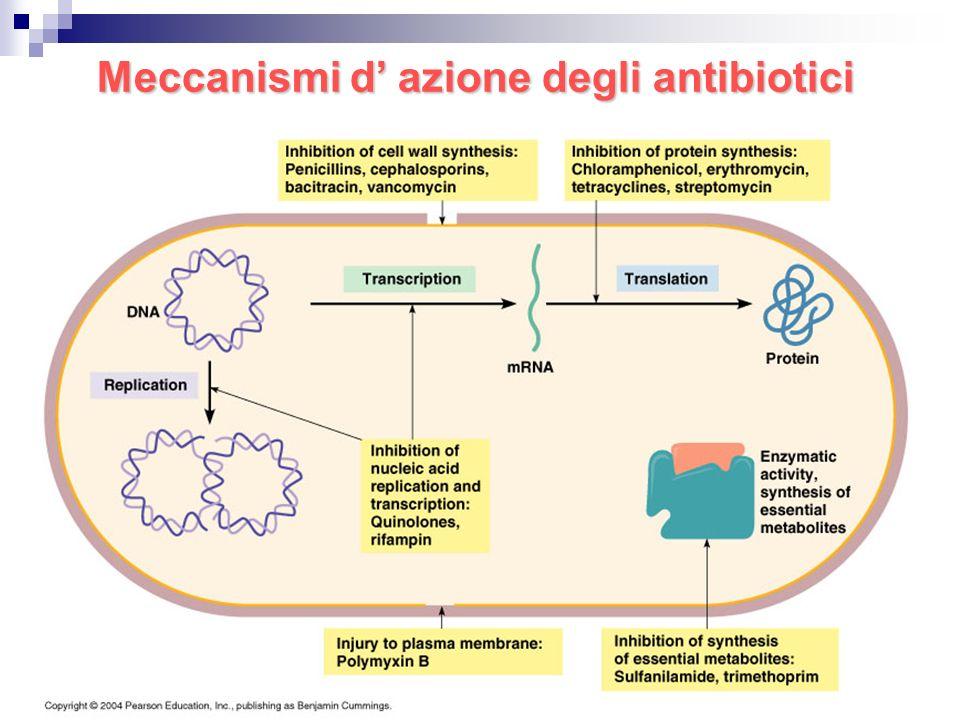 Attività antibiotici su parete cellulare: azione battericida β-lattamici (penicilline e cefalosporine), penicilline semisintetiche β-lattamasi resistenti, penicilline ad ampio spettro (penetrazione anche nei Gram-negativi); glicopeptidi (vancomicina, teicoplanina); azione su Gram+, peso molecolare elevato; cicloserina (Micobatterio tbc, tossica); fosfomicina