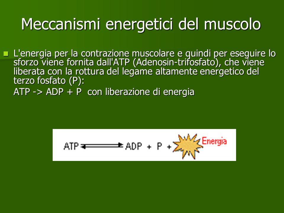 Meccanismi energetici del muscolo L'energia per la contrazione muscolare e quindi per eseguire lo sforzo viene fornita dall'ATP (Adenosin-trifosfato),