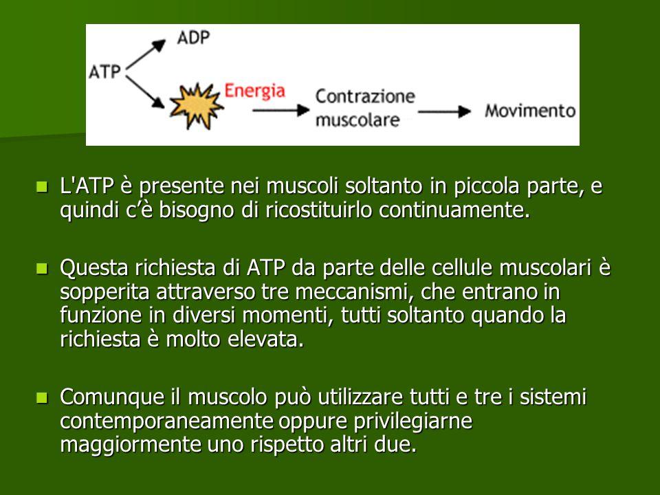 L'ATP è presente nei muscoli soltanto in piccola parte, e quindi cè bisogno di ricostituirlo continuamente. L'ATP è presente nei muscoli soltanto in p