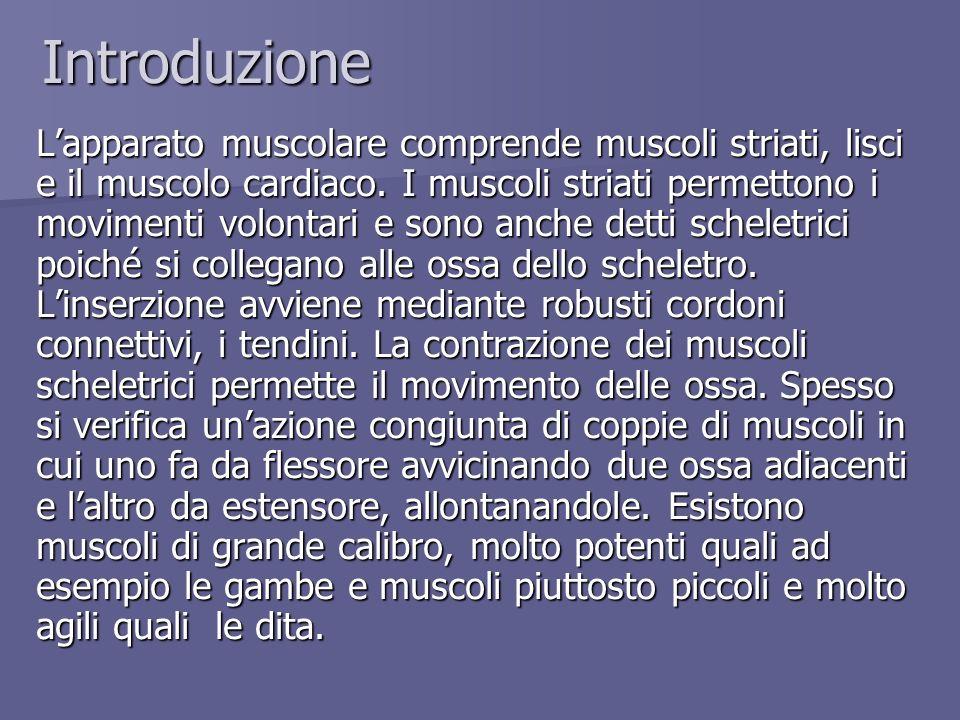 Introduzione Lapparato muscolare comprende muscoli striati, lisci e il muscolo cardiaco. I muscoli striati permettono i movimenti volontari e sono anc