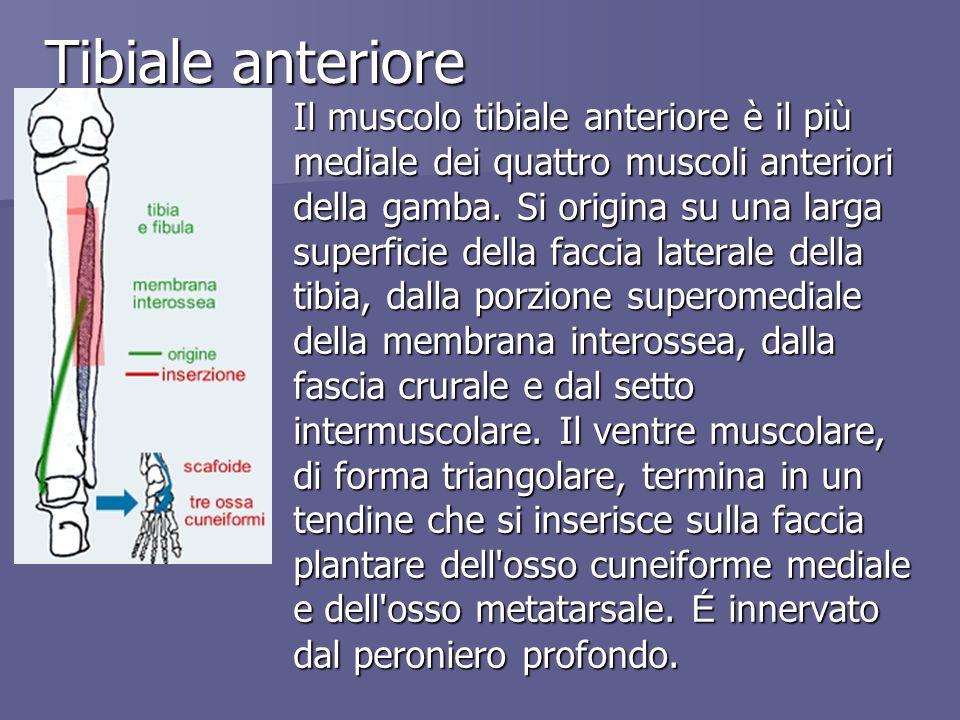 Tibiale anteriore Il muscolo tibiale anteriore è il più mediale dei quattro muscoli anteriori della gamba. Si origina su una larga superficie della fa