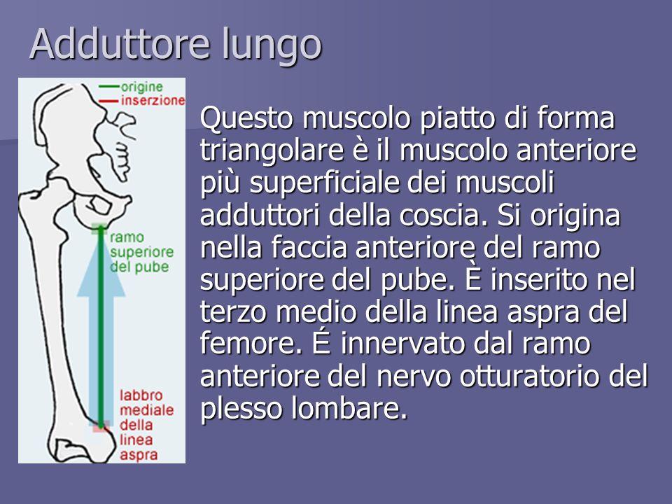 Adduttore lungo Questo muscolo piatto di forma triangolare è il muscolo anteriore più superficiale dei muscoli adduttori della coscia. Si origina nell
