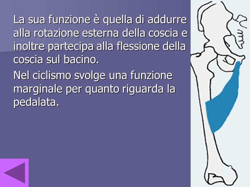 La sua funzione è quella di addurre alla rotazione esterna della coscia e inoltre partecipa alla flessione della coscia sul bacino. Nel ciclismo svolg