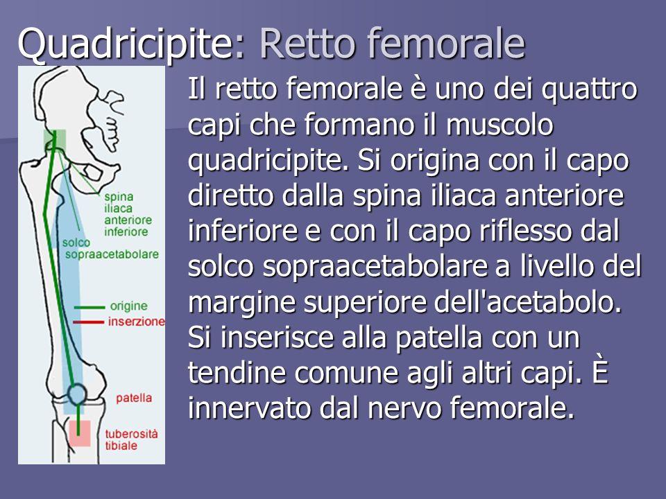Quadricipite: Retto femorale Il retto femorale è uno dei quattro capi che formano il muscolo quadricipite. Si origina con il capo diretto dalla spina