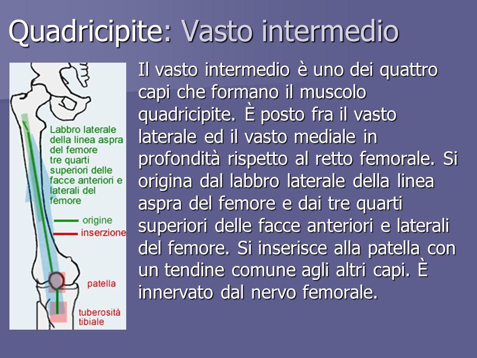 Quadricipite: Vasto intermedio Il vasto intermedio è uno dei quattro capi che formano il muscolo quadricipite. È posto fra il vasto laterale ed il vas
