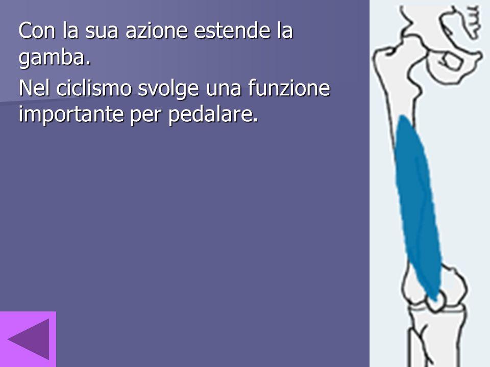 Con la sua azione estende la gamba. Nel ciclismo svolge una funzione importante per pedalare.