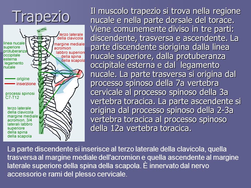 Trapezio Il muscolo trapezio si trova nella regione nucale e nella parte dorsale del torace. Viene comunemente diviso in tre parti: discendente, trasv