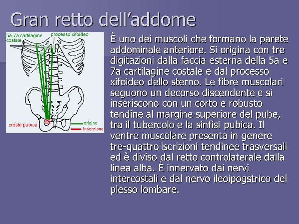 Gran retto delladdome È uno dei muscoli che formano la parete addominale anteriore. Si origina con tre digitazioni dalla faccia esterna della 5a e 7a