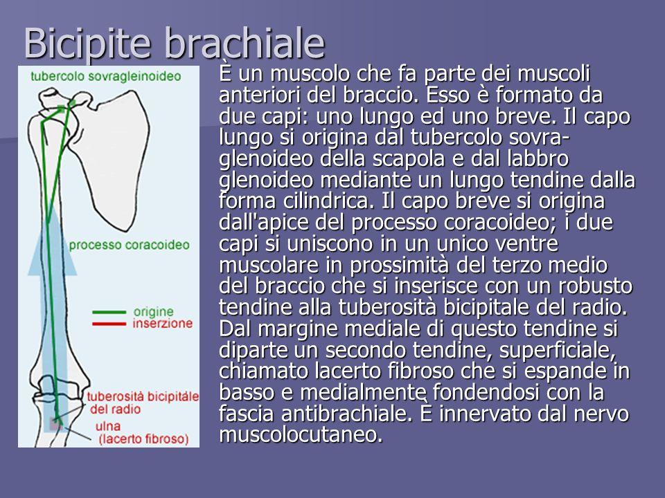 Bicipite brachiale È un muscolo che fa parte dei muscoli anteriori del braccio. Esso è formato da due capi: uno lungo ed uno breve. Il capo lungo si o