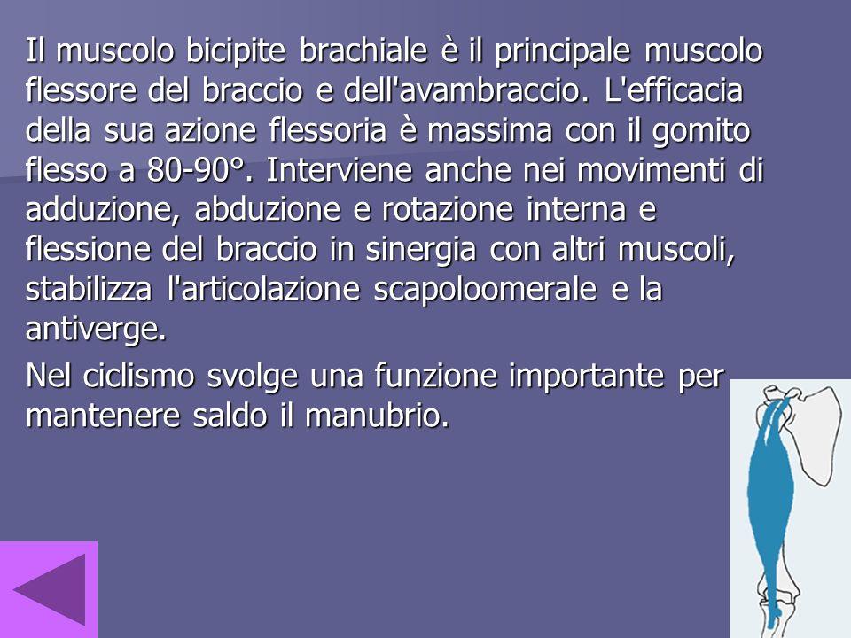Il muscolo bicipite brachiale è il principale muscolo flessore del braccio e dell'avambraccio. L'efficacia della sua azione flessoria è massima con il
