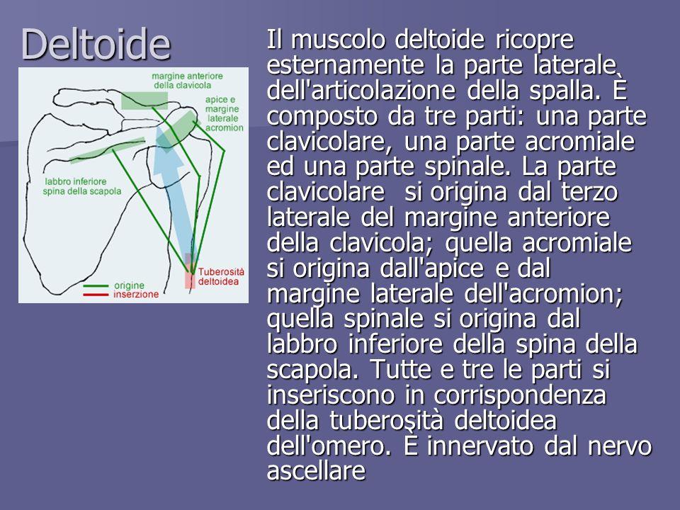 Deltoide Il muscolo deltoide ricopre esternamente la parte laterale dell'articolazione della spalla. È composto da tre parti: una parte clavicolare, u