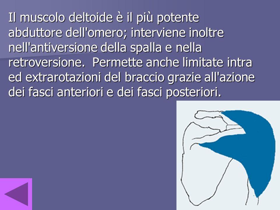 Il muscolo deltoide è il più potente abduttore dell'omero; interviene inoltre nell'antiversione della spalla e nella retroversione. Permette anche lim