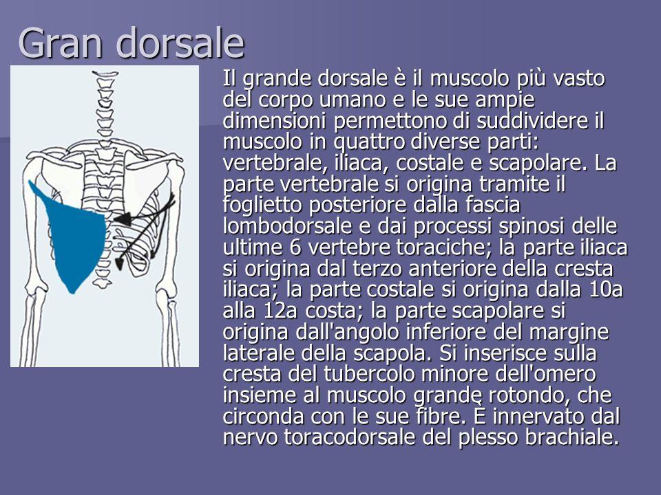 Gran dorsale Il grande dorsale è il muscolo più vasto del corpo umano e le sue ampie dimensioni permettono di suddividere il muscolo in quattro divers