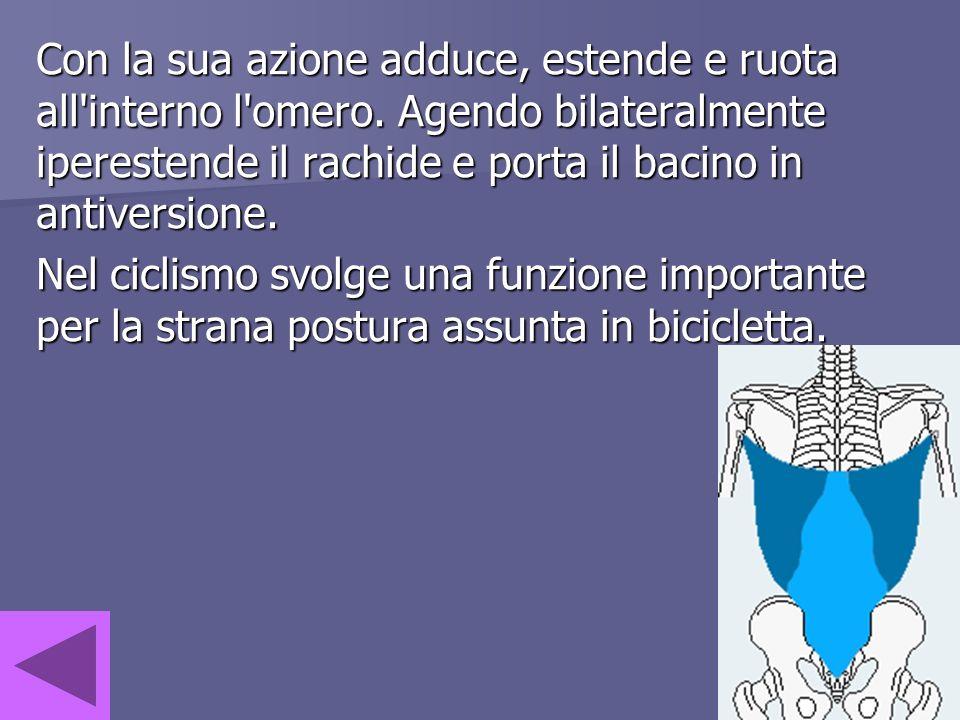 Con la sua azione adduce, estende e ruota all'interno l'omero. Agendo bilateralmente iperestende il rachide e porta il bacino in antiversione. Nel cic