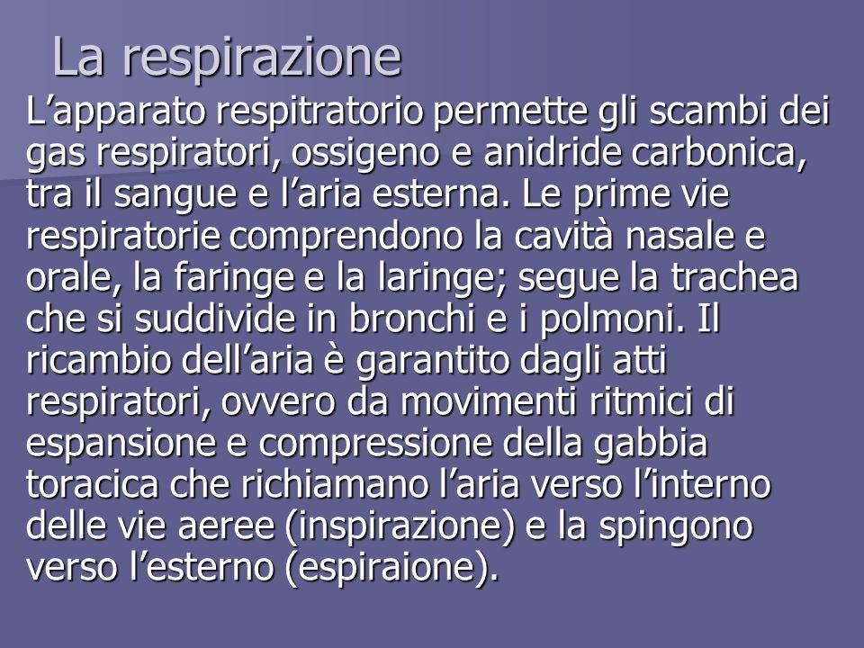 La respirazione Lapparato respitratorio permette gli scambi dei gas respiratori, ossigeno e anidride carbonica, tra il sangue e laria esterna. Le prim