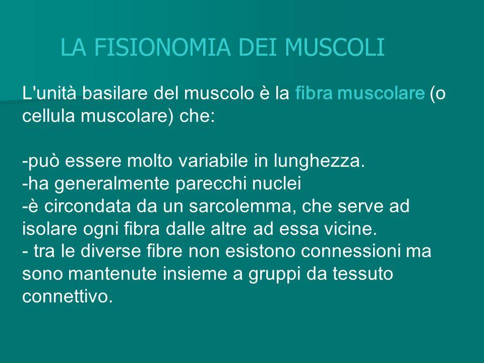 L'unità basilare del muscolo è la fibra muscolare (o cellula muscolare) che: -può essere molto variabile in lunghezza. -ha generalmente parecchi nucle