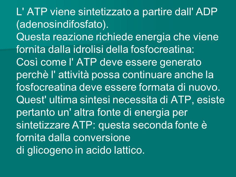 L' ATP viene sintetizzato a partire dall' ADP (adenosindifosfato). Questa reazione richiede energia che viene fornita dalla idrolisi della fosfocreati