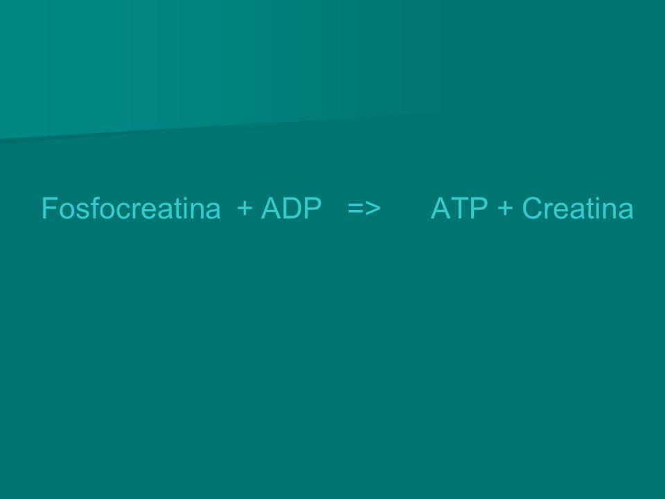 Fosfocreatina + ADP => ATP + Creatina