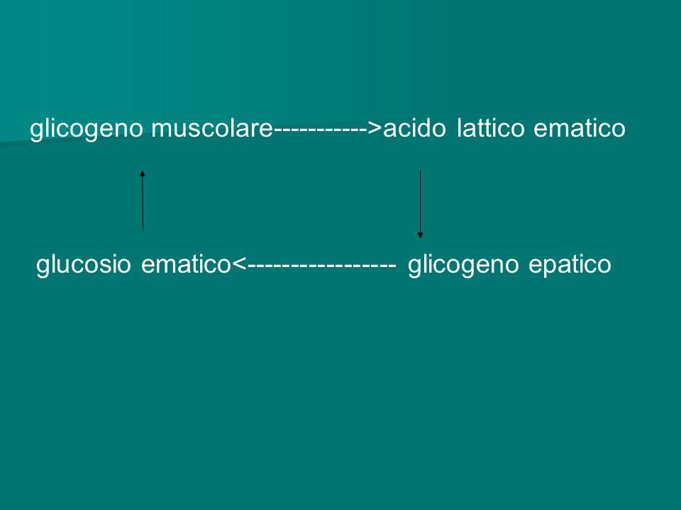 glicogeno muscolare----------->acido lattico ematico glucosio ematico<----------------- glicogeno epatico