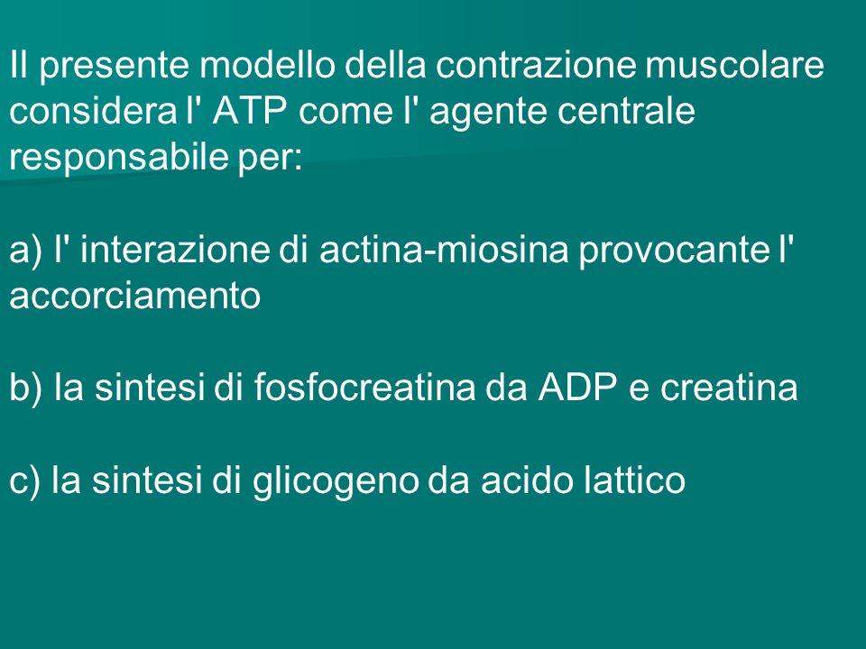 Il presente modello della contrazione muscolare considera l' ATP come l' agente centrale responsabile per: a) l' interazione di actina-miosina provoca