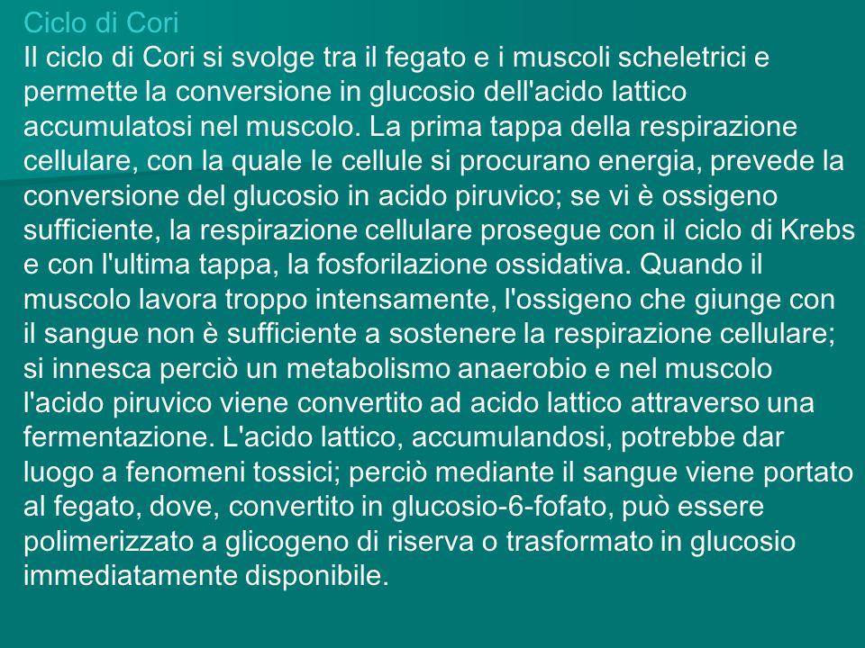 Ciclo di Cori Il ciclo di Cori si svolge tra il fegato e i muscoli scheletrici e permette la conversione in glucosio dell'acido lattico accumulatosi n