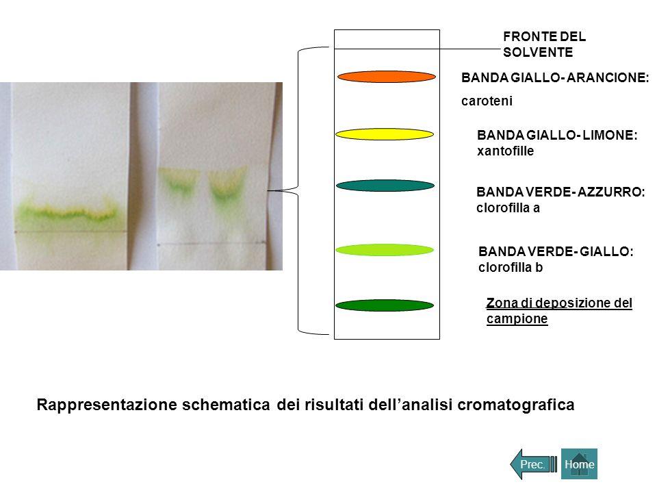 FRONTE DEL SOLVENTE BANDA GIALLO- ARANCIONE: caroteni BANDA GIALLO- LIMONE: xantofille BANDA VERDE- AZZURRO: clorofilla a BANDA VERDE- GIALLO: clorofi