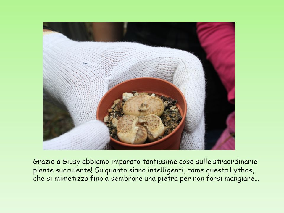 Grazie a Giusy abbiamo imparato tantissime cose sulle straordinarie piante succulente! Su quanto siano intelligenti, come questa Lythos, che si mimeti